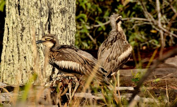 Curlews Coochie Photogrpahy by Gary Sheehy